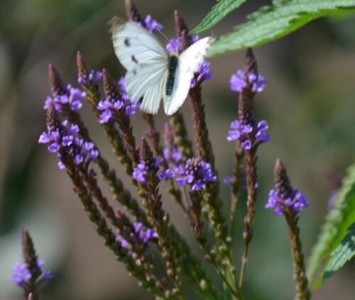 in unserem Wildblumengarten